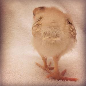chicken_goodbye