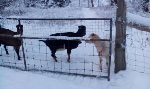 derrian goats